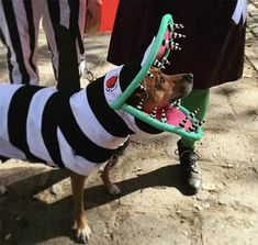 Need Some Last-Minute Inspiration? Check Out a Few of Our Favorite Halloween Dog Costumes. 3 Person Halloween Costumes, Beetlejuice Halloween Costume, Best Dog Costumes, Animal Costumes, Pet Costumes, Costume Ideas, Funny Costumes, Halloween 2017, Halloween Ideas