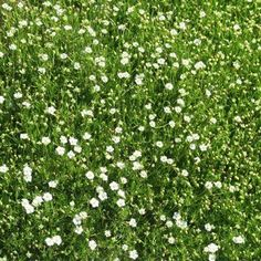 Outsidepride Irish Moss - 5000 Seeds