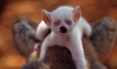 Newborn albino lemur