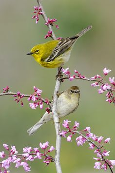 Pine Warbler (male and female) - what a pair!