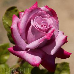 Paradise Rose | Flickr - Photo Sharing!