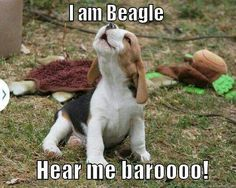 Are you interested in a Beagle? Well, the Beagle is one of the few popular dogs that will adapt much faster to any home. Animals And Pets, Baby Animals, Funny Animals, Cute Animals, Cute Puppies, Cute Dogs, Dogs And Puppies, Doggies, Toy Dogs