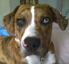 """Ozzy looks and behaves a lot like the dog in the latest Riddick movie """"Riddick Rule The Dark"""".  He has the one brown eye and one blue eye and a pink hook like a nose ring going into his nostril, and both are brindle.  Serendipity ha ha :)"""