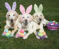 Sweet Lab Bunnies:) But, they don't look very happy