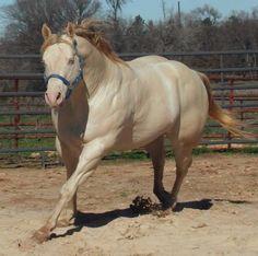 THE KEO KID Rare Horses, Funny Horses, American Quarter Horse, Quarter Horses, Palomino, Horse Tack, Beautiful Creatures, Wonders Of The World, Equestrian