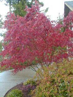 Acer palmatum atropurpureum 'Bloodgood'