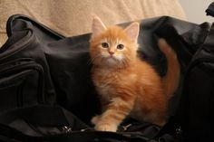 Maine Coon Kitten   Cattery Jem Cats   The Netherlands