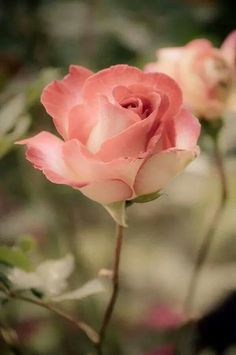 I love the shade of pink in this rose.