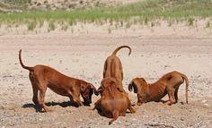 Rodesian Ridgeback Puppies