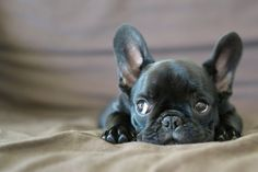 French Bulldog Puppies for Sale If you are looking for a healthy, happy well-adjusted French bulldog you have come to the right place. Because we are small we offer high quality care for your new French bulldog puppy. Cute Puppies, Cute Dogs, Dogs And Puppies, Doggies, Baby Dogs, Corgi Puppies, Baby Animals, Cute Animals, Black French Bulldogs