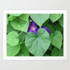 Grandpa Ott's morning glory. ~~~~~~~~~~~~~~~~~~~~~~~~~~ #wallart #decor #cool #society6 #flowers #flower #morningglory
