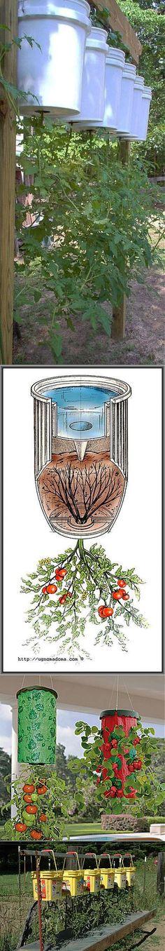 Перевернутые помидоры.Может показаться, что это – чудачество, но  методика такая находит все большее распространение. Растут вверх корнями и помидоры и много других  культур – овощных, цветочных.Такой способ  взращивания зародился от нехватки посадочных площадей, от тесноты в помещениях.
