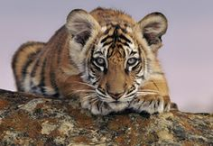 tiger cub, in honor of Global Tiger Day, WWF Bengalischer Tiger, Bengal Tiger, Tiger Cubs, Tiger Lady, Beautiful Cats, Animals Beautiful, Beautiful Creatures, Wallpaper Magic, Tiger World