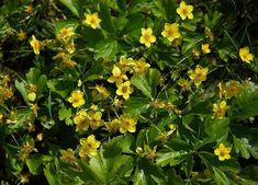 25 talajtakaró növény, melyekkel gyönyörűvé teheted a kertet! Geraniums, Herbs, Plants, Gardening, Lawn And Garden, Herb, Plant, Planets, Horticulture