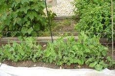 Nově rostoucímu hrášku přichystáme oporu Plants, Plant, Planets