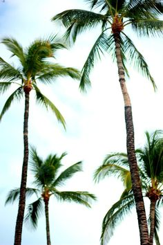 Palm trees + Blue skies #aloha #tropicalvibes #palmtrees