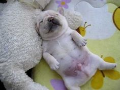 Baby french bulldog