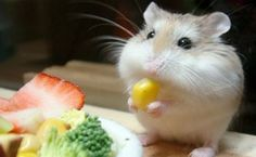 Easy Science for Kids All About Hamsters - Cute Little Animals. Learn more about Hamsters with our Online Science Facts for Kids on Hamsters! Chinchillas, Cute Hamsters, Robo Dwarf Hamsters, Cute Baby Animals, Funny Animals, Animal Funnies, Animal Babies, Crazy Animals, Pretty Animals