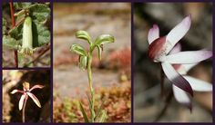Wildflowers on Pinnacle track, Grampians National Park, Victoria, Australia Caravan Hire, Australian Wildflowers, Australia Travel, Wild Flowers, Travel Inspiration, National Parks, Road Trip, Victoria Australia, Adventure