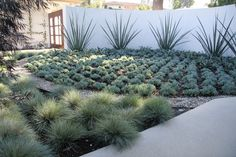 Magestic furcraea macdougalli lines the wall to anchor this blue Southern California garden. Festuca glauca quickly grows big and bushy, adding a beachy feel to an otherwise desert garden. contemporary landscape by ecocentrix landscape architecture Courtyard Landscaping, Succulent Landscaping, Modern Landscaping, Front Yard Landscaping, Landscaping Ideas, Landscaping Plants, Low Water Landscaping, Hydrangea Landscaping, Residential Landscaping