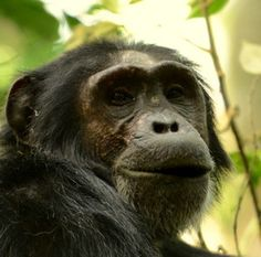 chimpancé, chimpancés fotos, Uganda, la fauna de Uganda, reloj primate, primates Uganda, chimpancés Uganda, simios en Uganda, Kibale, Parque Nacional de Kibale, senderismo chimpancé