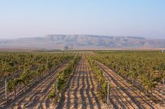 The Kavaklidere Wine Company with its mass of vineyards covering 645 hectares, and stretching over 7 different regions…