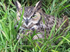 Owl at San Francisco Zoo
