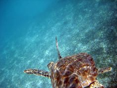 Snorkeling with the Turtles in Akumal is a precious activity in this little Riviera Maya town. For the sake of protecting the turtles, the rules for using the bay have changed.