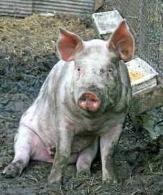 pig_sitting