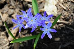 Bulb - Glory-of-the-snow - Spring