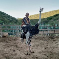 Ostrich in the Klein Karoo - South Africa - Daniel Naude Photography Sa Tourism, Festival Photo, South African Art, Ostriches, Photography Contests, Pretty Pictures, Farm Animals, Animal Kingdom, Equestrian
