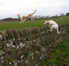 Podencos, jump !