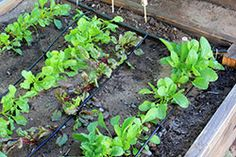 Drip irrigation.  This will become very relevant to my interests when I have a whole yard full of veggies instead of just a few containers.
