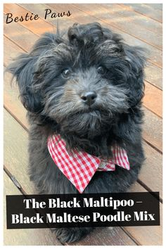 Black Maltipoo Puppies, Teacup and Full-Grown Maltipoo