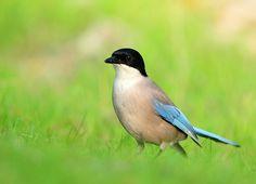 Gepind vanaf vroegevogels.vara.nl - Blauwe Ekster