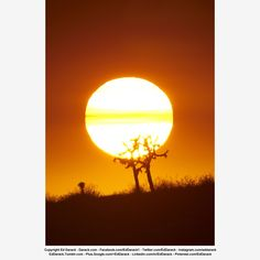 Setting sun, its light strongly filtered by smoke from a wildfire, silhouettes two Joshua Trees in San Bernadino, California. Copyright Ed Darack.