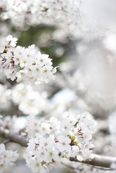 White Cherry Blossoms. Natural beauty.