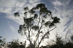 Australia, Eucalyptus, Tree, Leaf, Branch, Sky #australia, #eucalyptus, #tree, #leaf, #branch, #sky