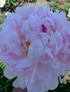 HERMIONE: Very large soft pink full double flowers, with fringed edges. Flower is sweetly scented. Strong stems, good variety for cut flower production. - See more at: http://www.green-works.nl/en/peonies/paeonia/hermione/#sthash.q4D3B8Zu.dpuf #peony #peonies #double #pink #paeonia #flower #pioen #garden #greenworks #Hermione