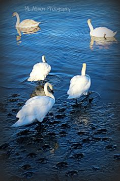 Swans~  #Photography #Mud #Nature
