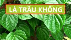 LÁ TRẦU KHÔNG: 49 Công dụng trị bệnh – Cách đun nấu – Cách sử dụng Plant Leaves, Plants, Plant, Planting, Planets