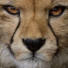 WOW. cheetah