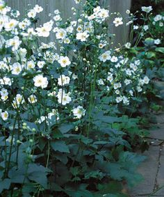 Wood anemone Wood anemone is a common name for three closely related species of woodland Anemone. In Europe: Anemone nemorosa In North America: Anemone quinquefolia The Yellow wood anemone is Anemone ranunculoides. Garden Shrubs, Shade Garden, Garden Plants, Garden Trellis, White Flowers, Beautiful Flowers, Elegant Flowers, Fresh Flowers, Fine Gardening
