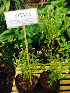 Stevia  Sugar herbal alternative Stevia, Celery, Herbalism, Alternative, Spices, Herbs, Sugar, Vegetables, Herbal Medicine