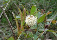 Flora Digital do Rio Grande do Sul e de Santa Catarina: Cephalanthus glabratus, mata ciliar