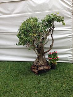 One of my biggest topiary bonsai style plant Cris Gutierrez  used as props for the art show at the Hui Maui feb,2015