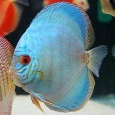Discus Bleu Cobalt 6-7 cm 19.80 € aquariumpoissons.fr