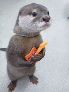 Otter...my spirit animal, with a guitar!
