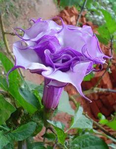 Purple Datura - Poisonous Devil's Trumpet, Horn of Plenty, Downy Thorn Apple Datura metel 'Double Purple' Annuals Tropicals and Tender Perennials