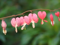 Perennials, bleeding heart ONE of my favorites! Sweet Love Quotes, Love Is Sweet, Best Romantic Images, Perennial Bulbs, Bleeding Hearts, Love Quotes Wallpaper, Wallpaper Free Download, Color Of Life, My Flower